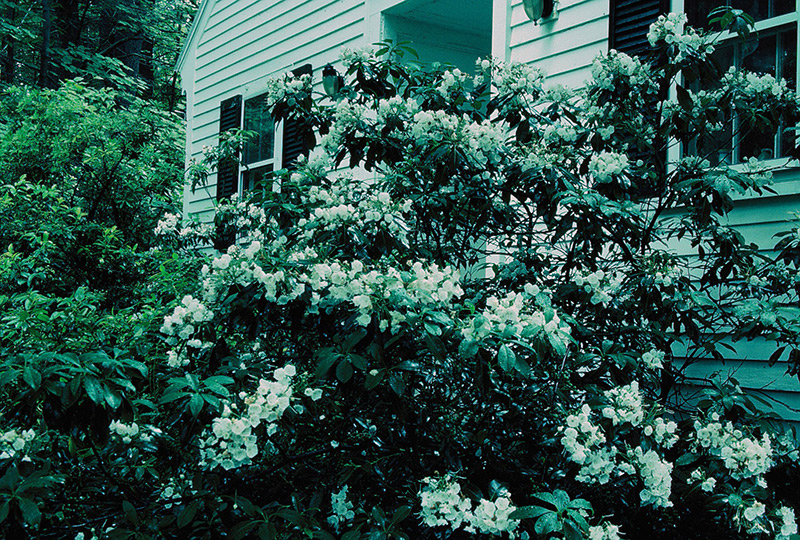 Mountain laurel at Evergree