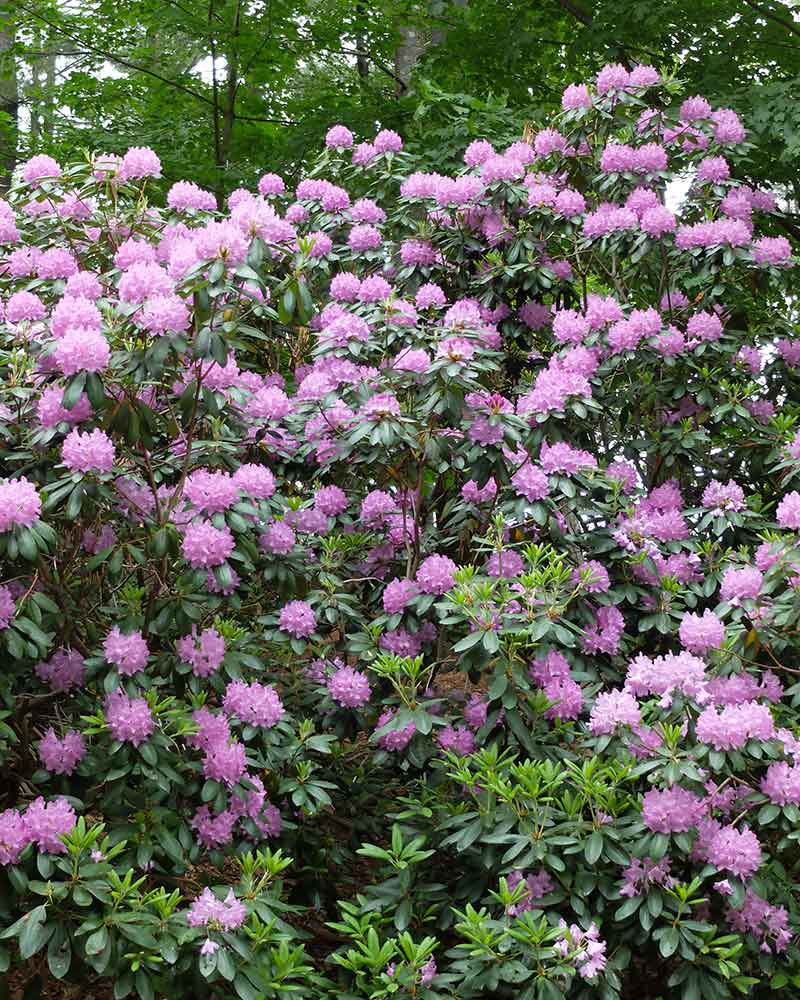 Evergreen's rhododendrons are low-care plants