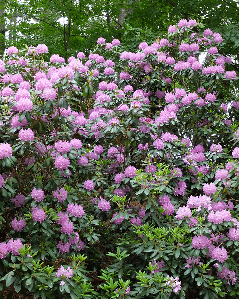 Massed rhododendrons create vast sweeps of color