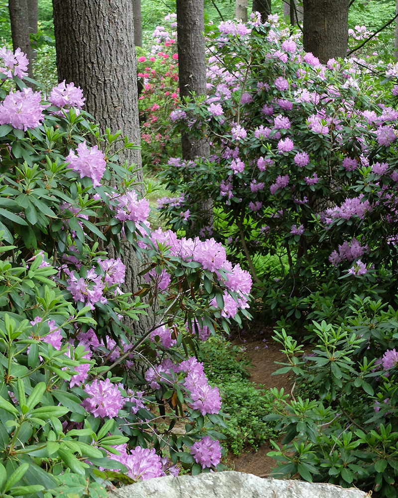Large mature rhododendrons among the pines at Evergreen